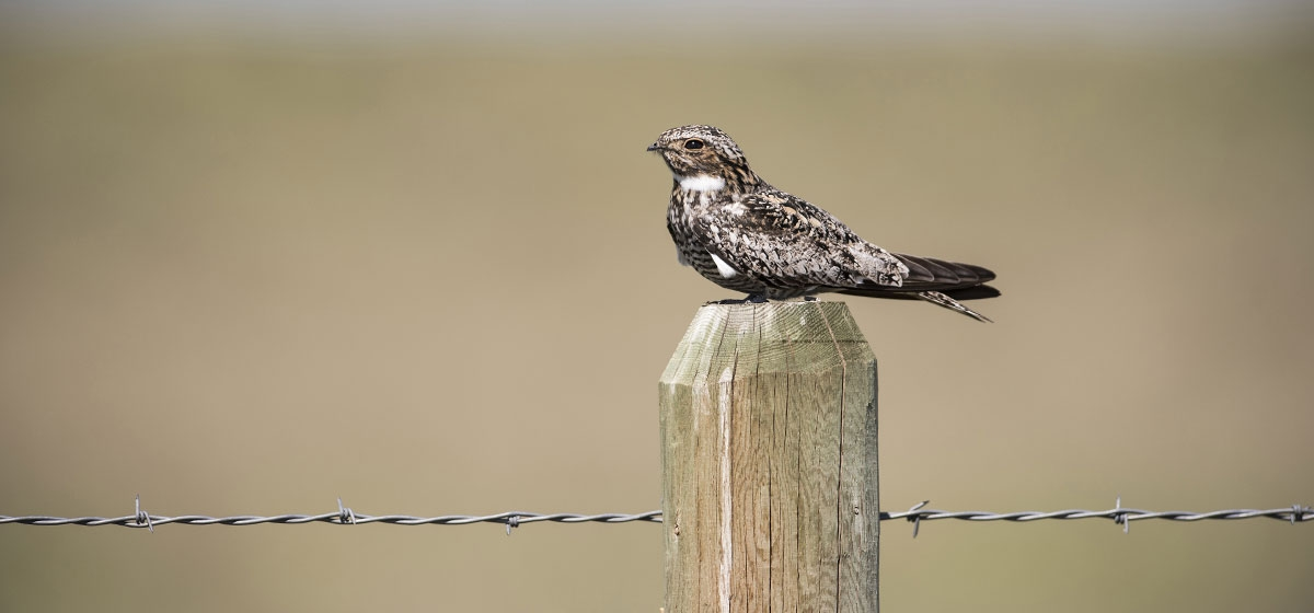 The Common Nighthawk