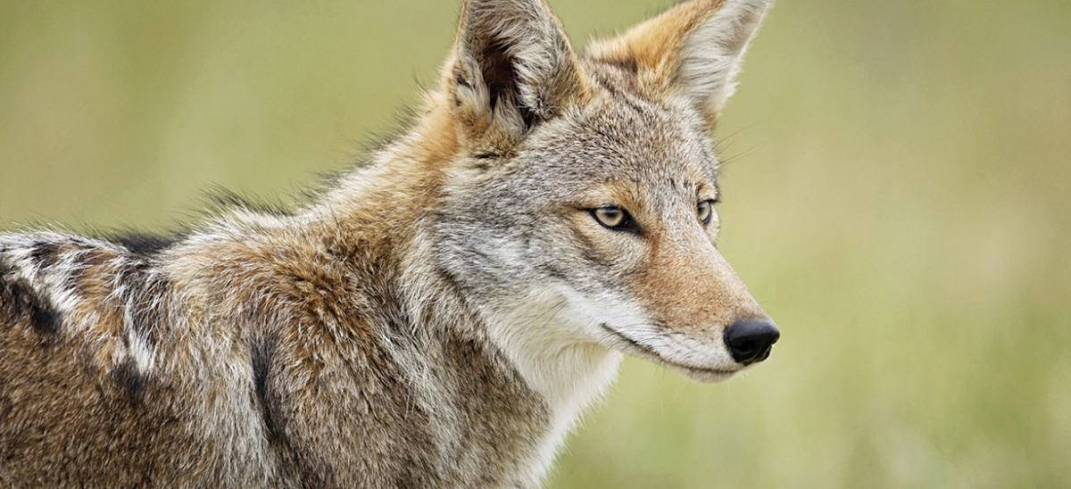 With few predators to endanger young, the prolific eastern coyote can make its home nearly anywhere and eat anything—from garbage to deer. While coyotes have had a presence in Pittsburgh since the 1990s, sightings are on the rise.