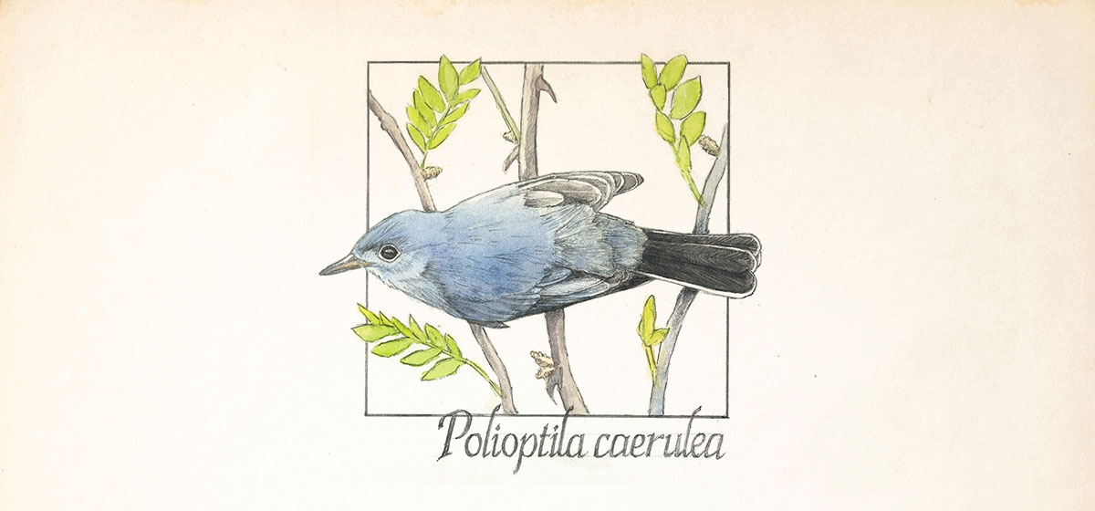 The Blue-Gray Gnatcatcher