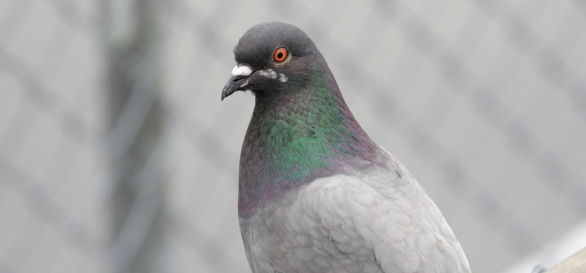 The Pittsburgh Pigeon