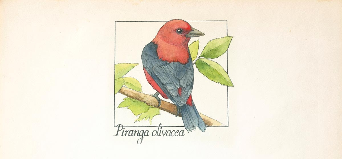 Image of: Piranga Olivacea Illustration By Sherri Thompson The Scarlet Tanager Pittsburgh Quarterly Pittsburgh Quarterly Magazine The Scarlet Tanager