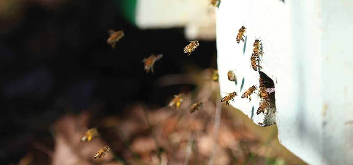 A local effort is increasing the number of bee hives in the Pittsburgh area. Meadow Sweet Apiaries of Dormont produces a ton of honey a year from bee colonies in Squirrel Hill, Homestead, Sewickley and other neighborhoods.