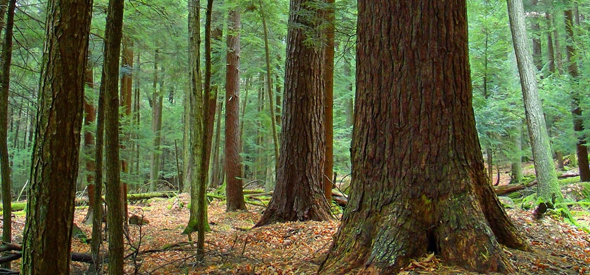 One of several old-growth stands of white pine and Eastern hemlock located throughout Cook Forest State Park.