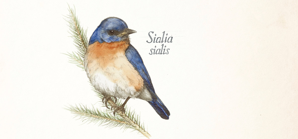 The Eastern Bluebird