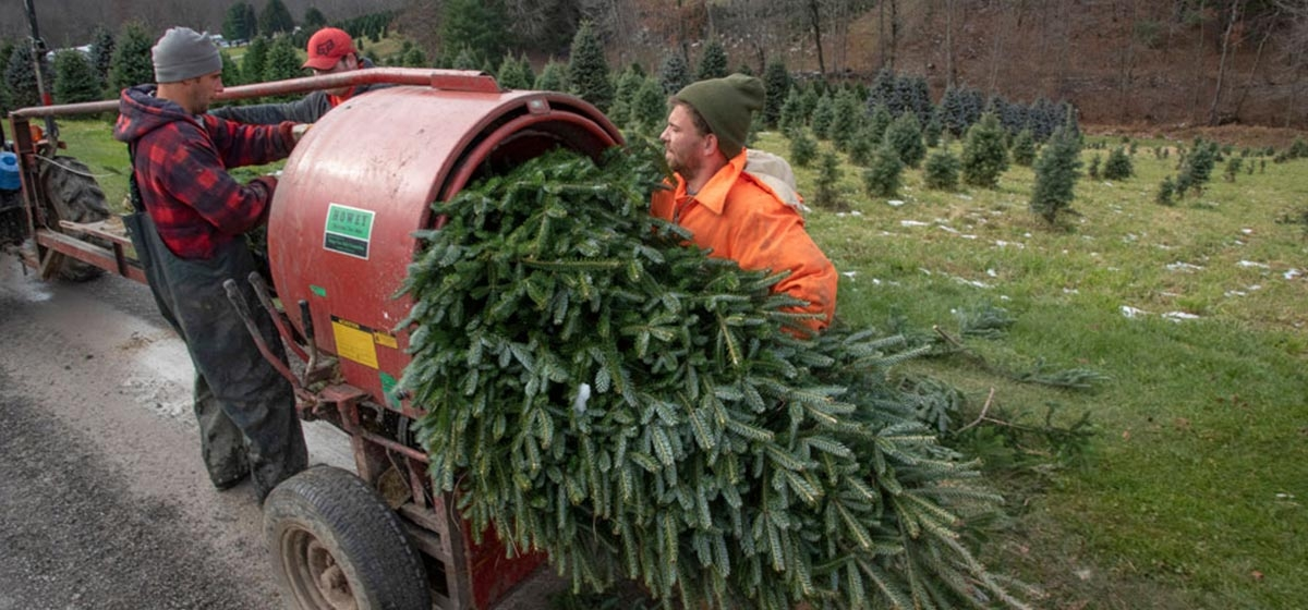 Kyle Weston, right, and Matt Weber bale freshly cut trees in a field at Flemings Christmas Tree Farm in Indiana County.