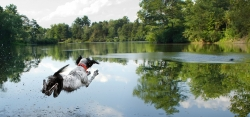 Trex, an American Kennel Club Field Champion, dives into a lake near Zelienople to retrieve a training duck thrown by his owner, Curtis Fry of New Brighton. In 2011 Trex was the No. 1 English Setter male in the country for field points.
