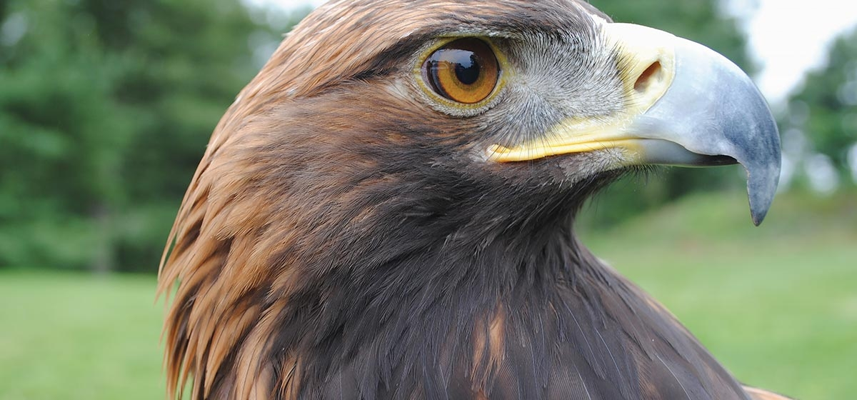 Golden Eagle: High, Wild and Here
