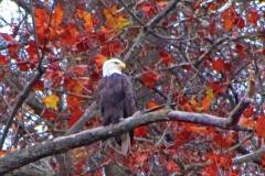 14_fall_eagles05
