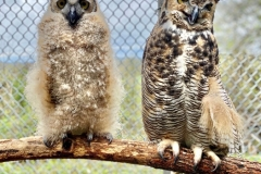 martha-and-foster-owlet