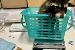 raccoon-gets-weighed